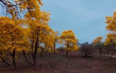 (Video) Se recomienda a  los turistas que visiten el florecimiento de los Guayacanes, a que tomen medidas de precaución.