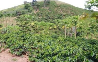 (Video) Se reactiva producción de café en el cantón Pindal.