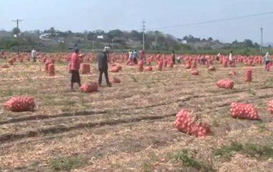 (Video) Productores de arroz y cebolla de Zapotillo y Macará deben obtener  certificado de  movilización para comercializar sus productos.
